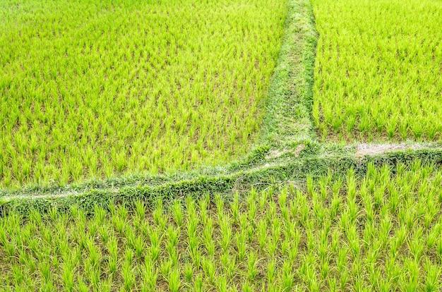 Détail d'un champ de rizières - vang vieng - laos
