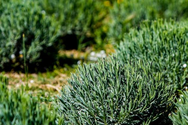 Détail des champs de lavande au printemps