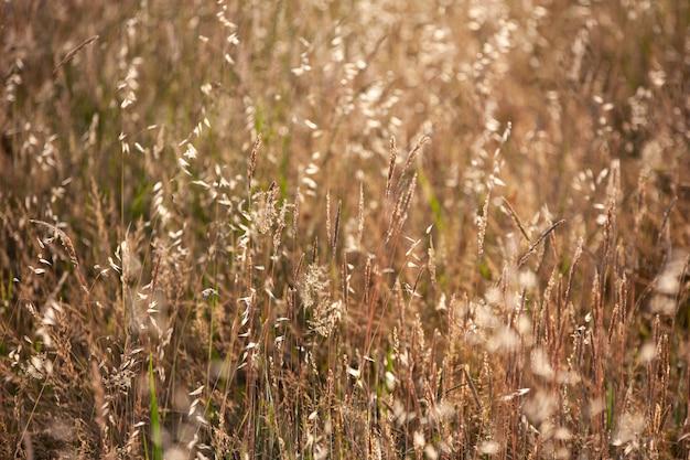 Détail de la culture des champs de luzerne pris au coucher du soleil
