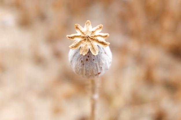 Détail du fruit mûr d'un pavot à opium royal, papaver somniferum, dont les graines sont utilisées pour extraire la morphine.