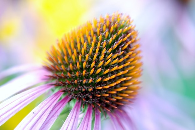 Détail echinacea fleur flore colorée échinacée