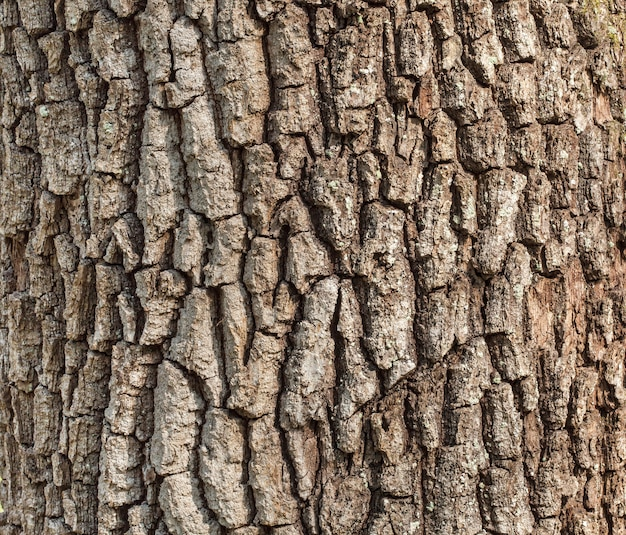 Détail de l'écorce de chêne