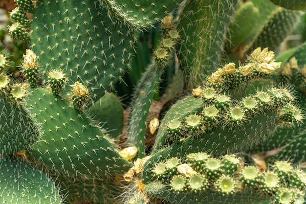 Détail sur une feuille fleurie d'opuntia cactus