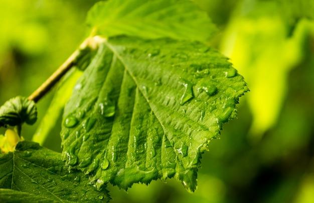 Détail d'une feuille de hêtre, de couleur vert vif, avec des gouttes d'eau de la pluie.