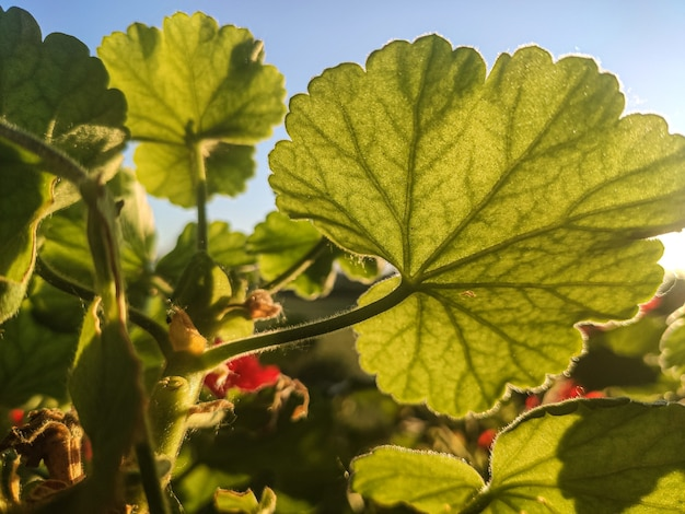 Détail des feuilles de géranium, image prise avec un objectif macro
