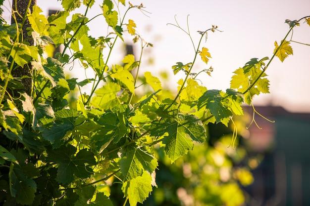 Détail des feuilles de vigne au coucher du soleil au printemps