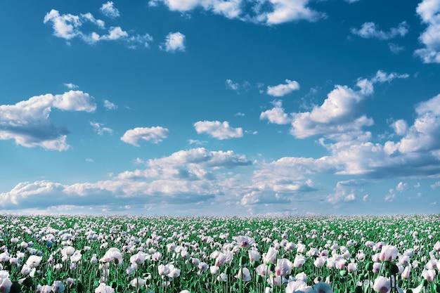 Détail de la floraison du pavot à opium, en latin papaver somniferum, sur un champ. cloudscape, ciel tonique avec des nuages.