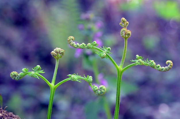 Détail de jeunes feuilles de fougère commune (pteridium aquilinum)