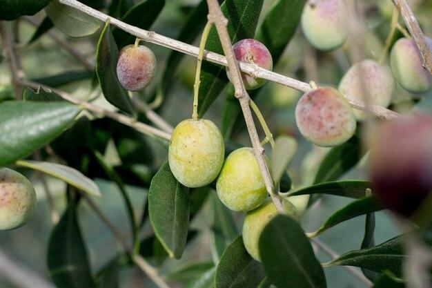 Détail d'olive sur branche