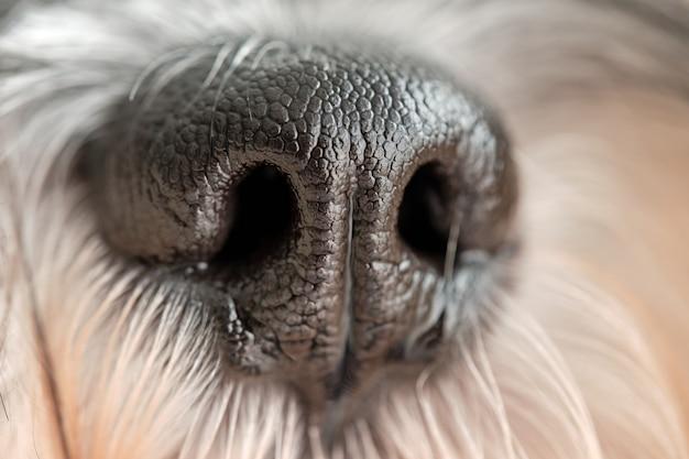 Détail de la photo du museau des chiens schnauzer