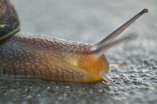 Détail d'une photo macro d'un escargot, d'un crâne, où vous pouvez voir les détails des yeux, des antennes et des ondulations du corps.