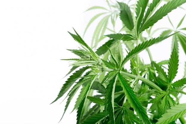 Détail de la plante de cannabis