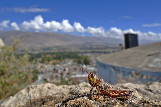 Détail d'une sauterelle mourante (acrididés), qui sur le point de mourir ne saute plus et permet d'être photographiée.