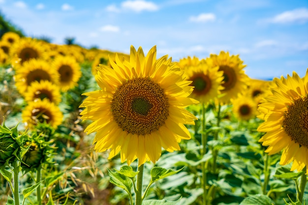 Détail de tournesols dans un champ de tournesols en été ouvert en regardant le soleil