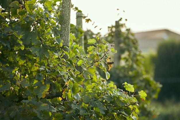 Détail d'un vignoble luxuriant au moment de la récolte