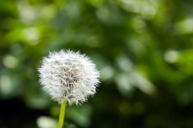 Détails de fleurs de pissenlit blanc doux