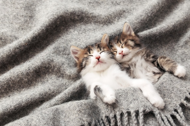Deux adorables petits chatons tricolores dorment les yeux fermés et couchés recouverts d'une couverture moelleuse grise. photo de chats endormis détendus et couchés à l'envers. concept d'animal de compagnie sain et heureux