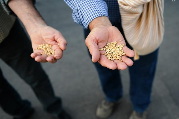 Deux agriculteurs authentiques mains avec grain de blé, gros plan