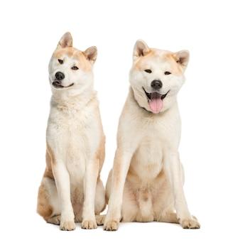 Deux akita inu assis, isolé sur blanc