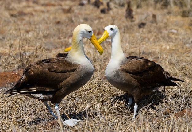 Deux albatros sur le terrain
