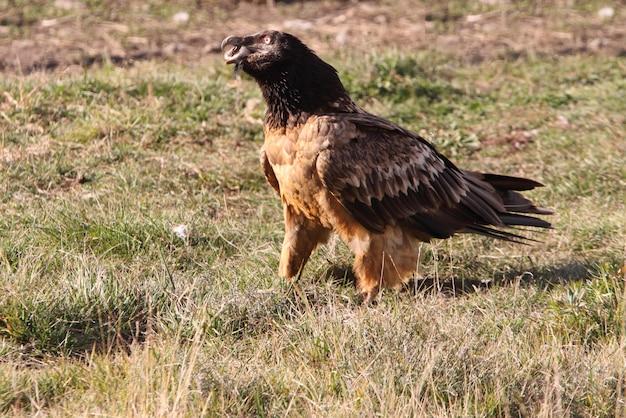 Deux ans de lammergeier avalant un os, charognard, vautours, oiseaux, faucon, gypaetus barbatus
