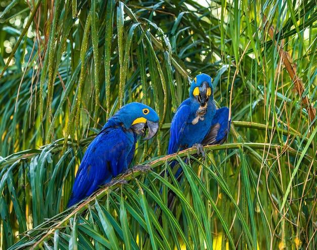 Deux aras hyacinthe sont assis sur un palmier et mangent des noix