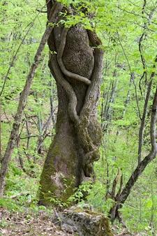 Deux arbres entrelacés dans la forêt verte de printemps