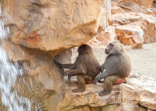 Deux babouins hamadryas assis sur une pierre près de la cascade.