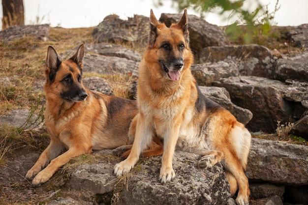 Deux beaux bergers allemands se trouvent dans la nature