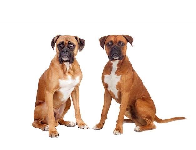 Deux beaux chiens boxeurs assis