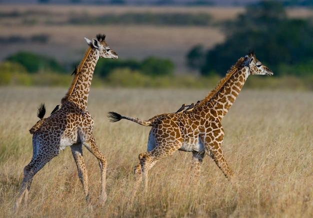 Deux bébés girafes dans la savane.