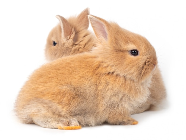 Deux bébés lapins brun-rouge isolés