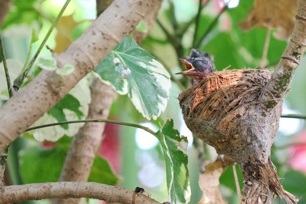 Deux bébés magpie-robin orientaux dans le nid et attendant la nourriture de leurs parents.