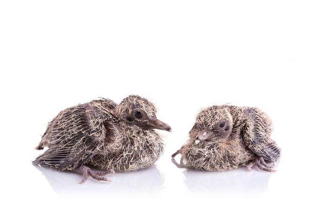 Deux des bébés oiseaux sur fond blanc