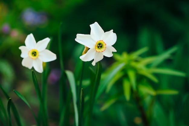 Deux belles fleurs blanches de narcisse avec centre jaune sur fond de lumière du soleil vert se bouchent. petites jonquilles en macro avec fond dans la verdure. toile de fond ensoleillée avec des plantes romantiques.