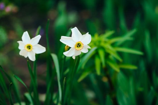 Deux belles fleurs blanches de narcisse avec centre jaune sur la lumière verte du soleil se bouchent. petites jonquilles en macro avec fond dans la verdure. toile de fond ensoleillée avec des plantes romantiques.