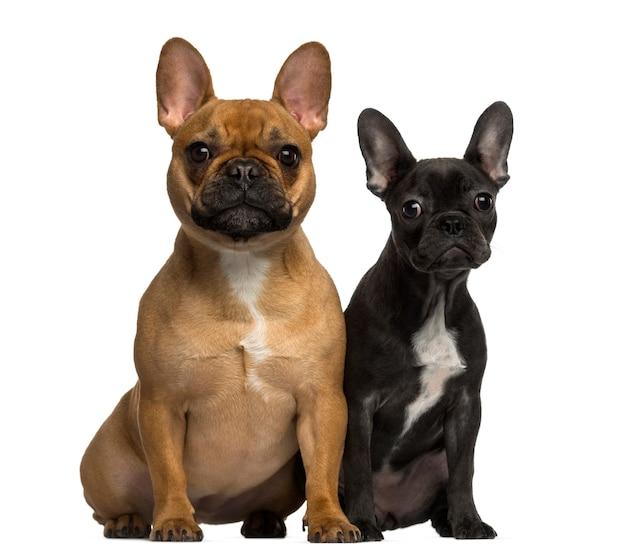 Deux bouledogues français assis et regardant la caméra
