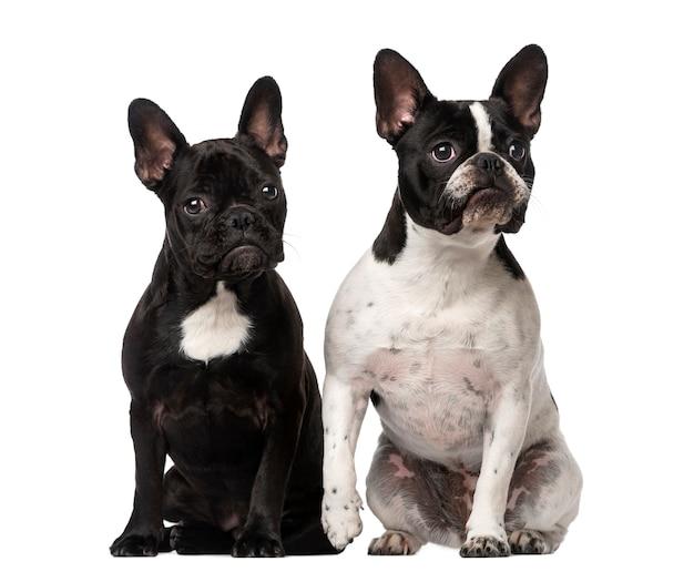 Deux bouledogues français assis