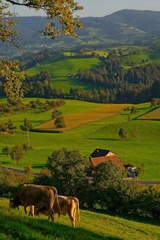 Deux bovins bruns sur terrain en herbe