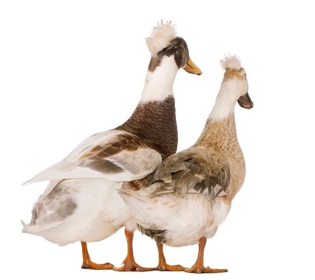 Deux canard huppe ou pompon, debout
