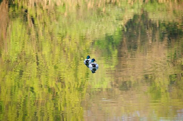 Deux canards mâles