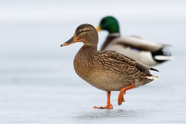 Deux canards sauvages approchant ensemble sur la glace en hiver.