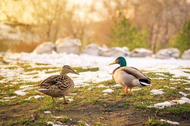 Deux canards sauvages au printemps sur la neige fondante