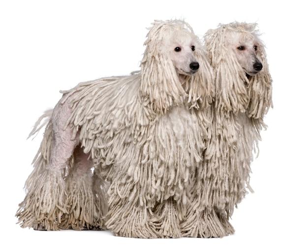 Deux caniches standard à cordes blanches. portrait de chien isolé