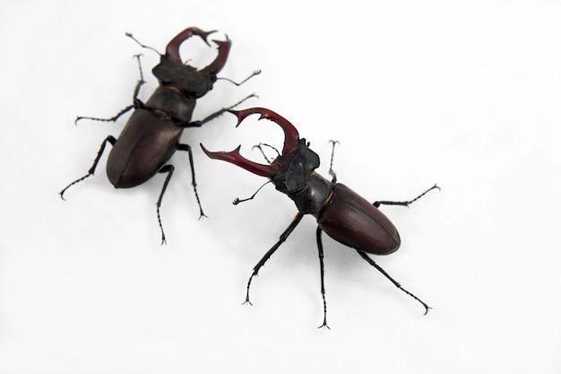 Deux cerfs coléoptères mâles isolés