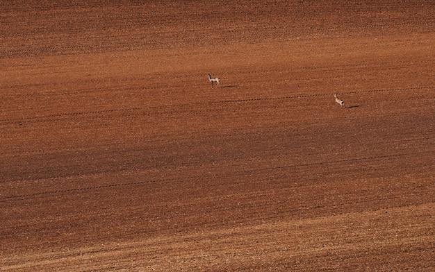 Deux cerfs s'exécutant sur une grande prairie. champ de couleur marron en moravie.