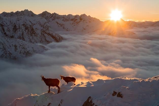 Deux chamois tatras debout sur les montagnes au lever du soleil