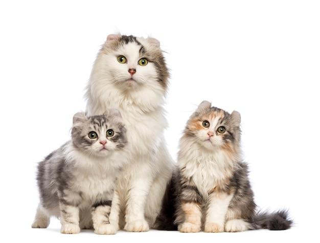 Deux chatons american curl (3 mois) assis avec leur maman