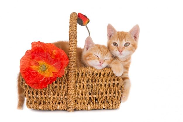 Deux chatons au gingembre dans un panier en osier avec des coquelicots orange, isolés sur blanc.
