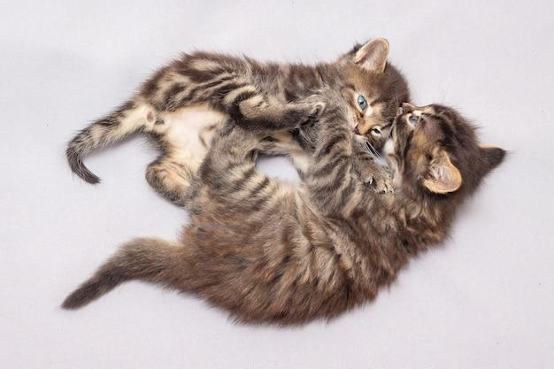 Deux chatons jouent. les gars découvrent qui est le plus fort
